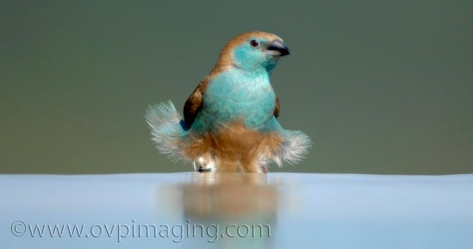 Bird having a bath