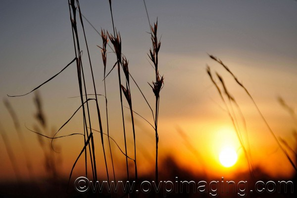 Wild grasses at sunset