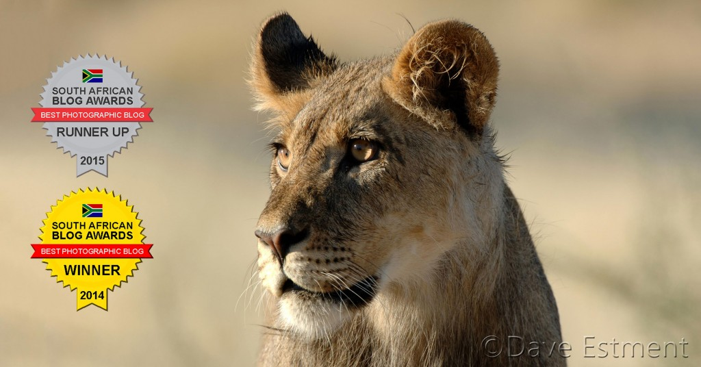 Young Male Lion photographed by Dave Estment