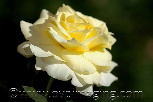 Rose against dark background