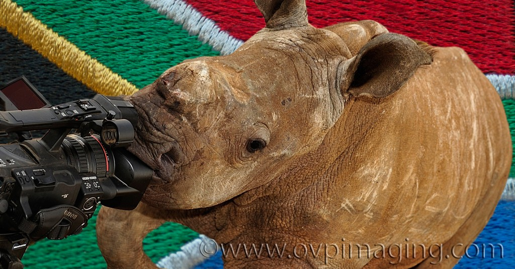 Rhino Calf with SA Flag