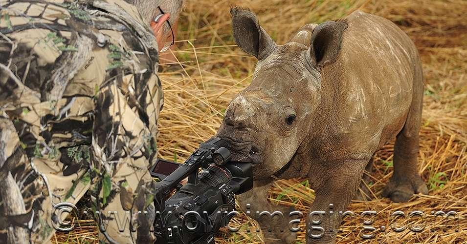 Rhino Calf Sucking Camera