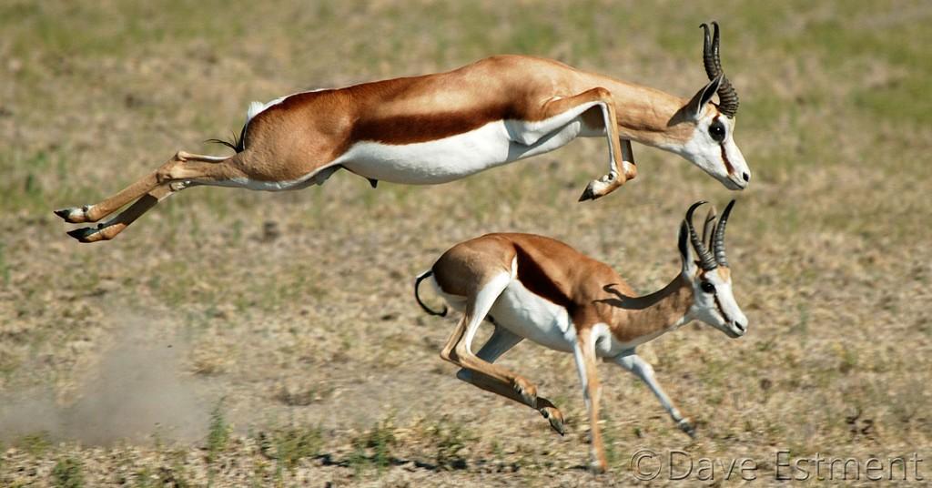 Kalahari Springbuck Leaping
